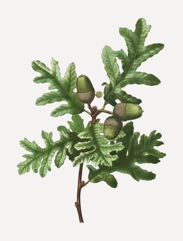Pyrenean oak branch