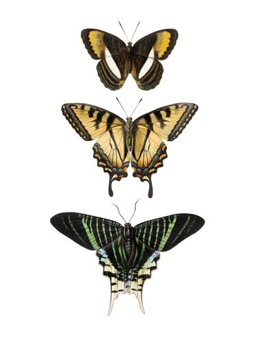Vintage illustration of butterflies and swallowtails