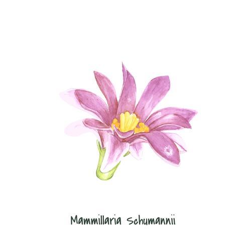Hand drawn mammillaria schumannii pincushion cactus