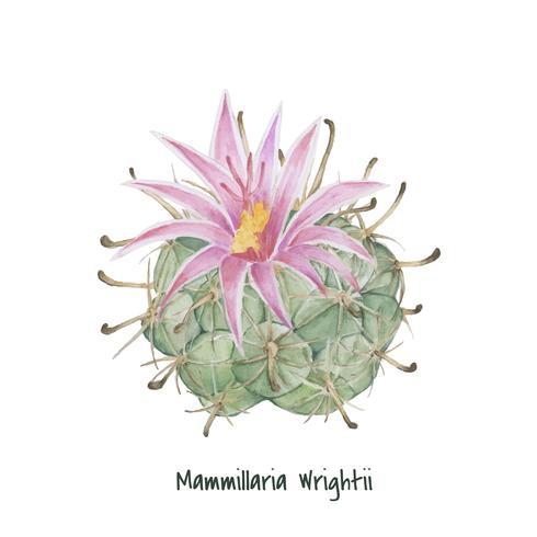 Handritad mammillaria wrightii pincushion kaktus
