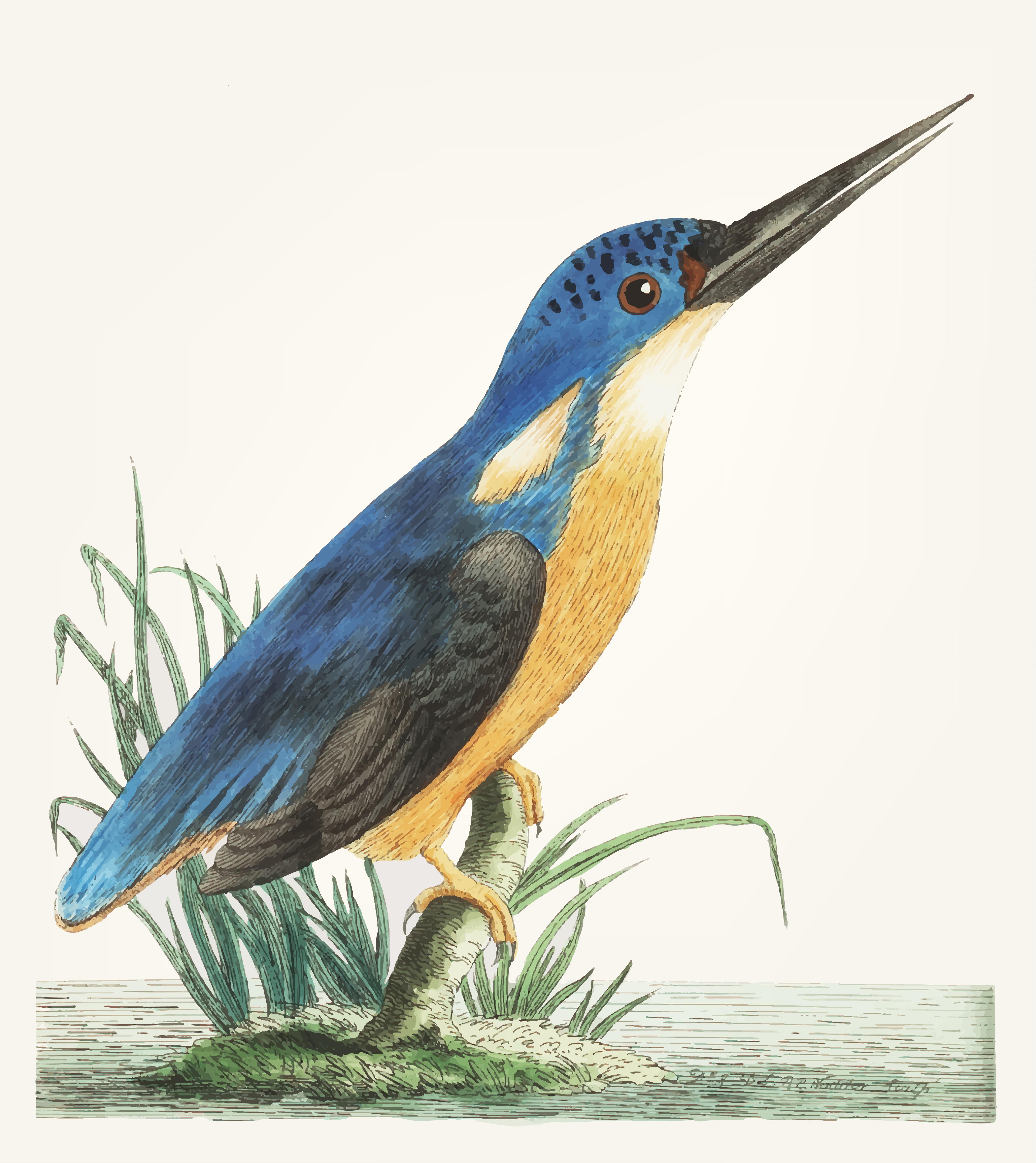 Vintage illustration of deep blue kingfisher - Download ...