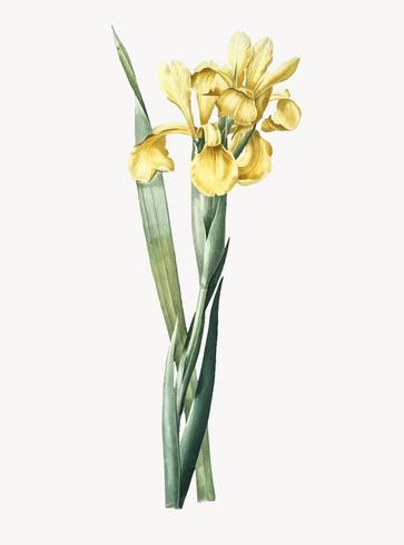 Vintage Illustration of Iris Monnieri
