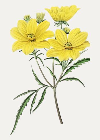 Flor de semilla vector