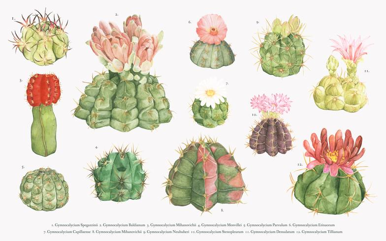 Hand getekend gymnocalycium kin cactus collectie