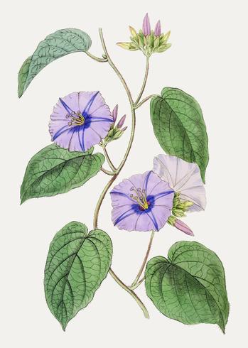 Fleur jacquemontia pourpre