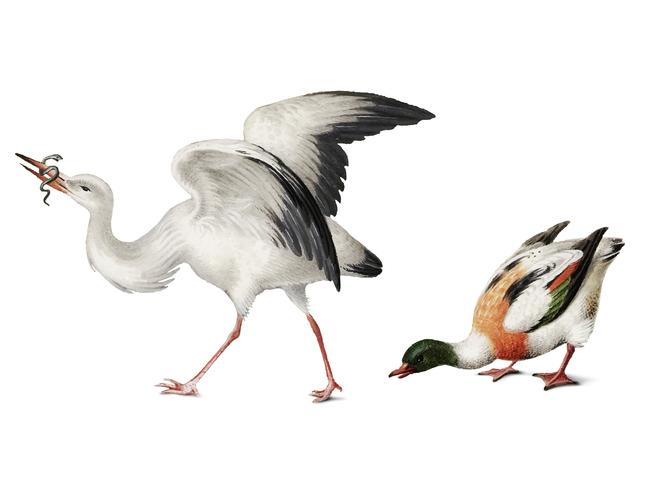 Tappning illustration av en stork och en mallard