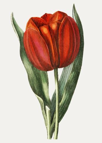 Röd tulpan