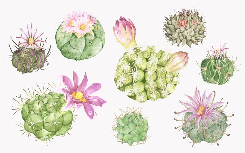 Hand drawn various mammillaria cactus