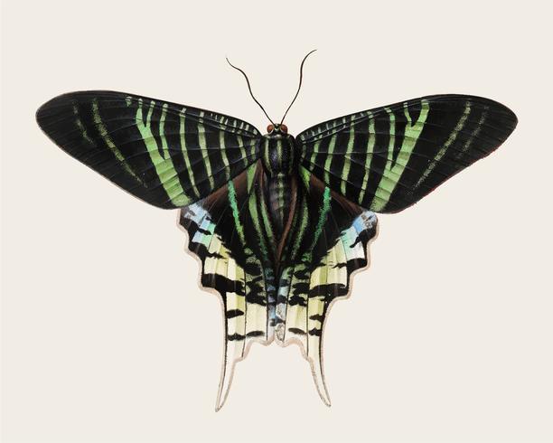 Vintage illustration of Butterfly