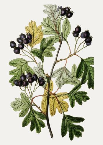 Aubépine noire à petites fleurs