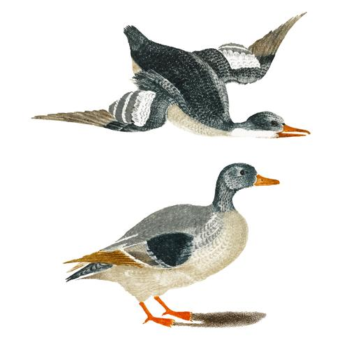 Vintage illustration of Ducks