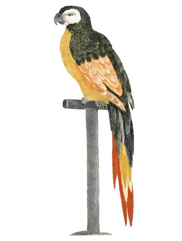 Vintage illustratie van een papegaai