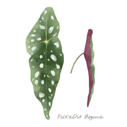 Polkadot begonia leaf isolerad på vit bakgrund