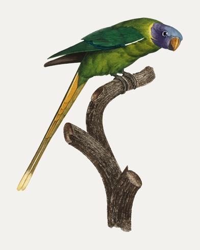 Periquito-de-cabeça-ameixa