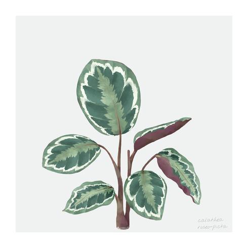 Calathea Roseopicta blad isolerad på vit bakgrund