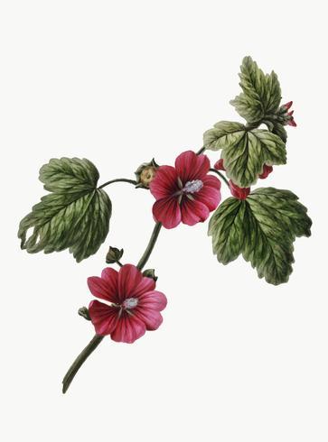 Ilustração vintage de rosa chinesa