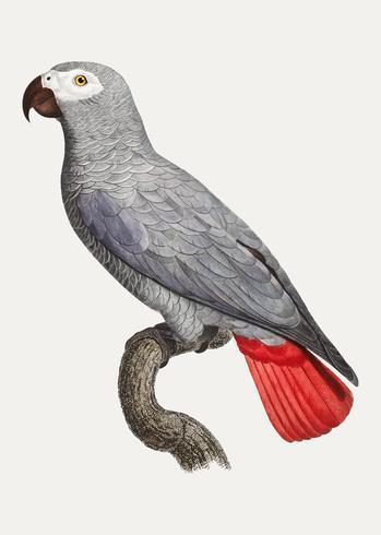 Perroquet gris Congo
