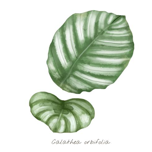 Foglia di orbifolia di Calathea isolata su fondo bianco