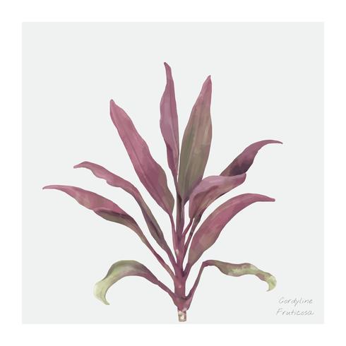 Cordyline Fruticosa växt isolerad på vit bakgrund