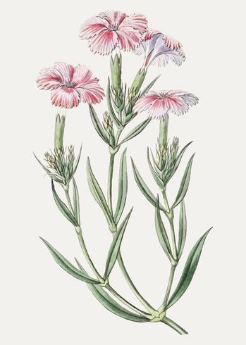Dianthus rosa