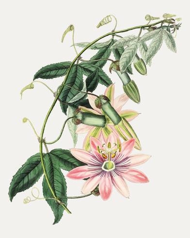 Poroporo blomma