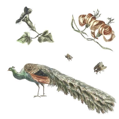 Illustrazione d'epoca di Convolvolo, gigli, due mosche e un pavone