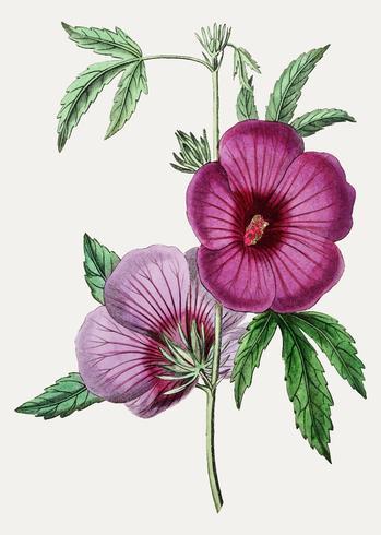 Malva rosa escarlata