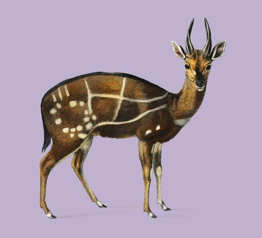 Antilope guib ilustrado por Charles Dessalines D'Orbigny (1806-1876). Digital reforçada a partir de nossa própria edição de 1892 do Dictionnaire Universel D'histoire Naturelle.