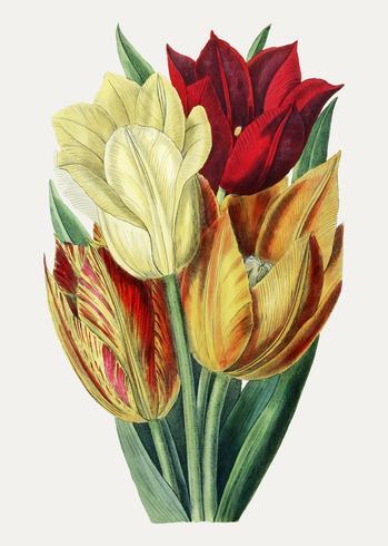 Tulipani in colore caldo