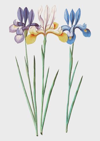 Iris en estilo vintage