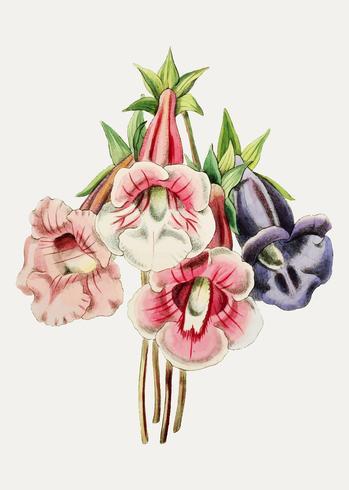 Gloxinia blomma sortiment