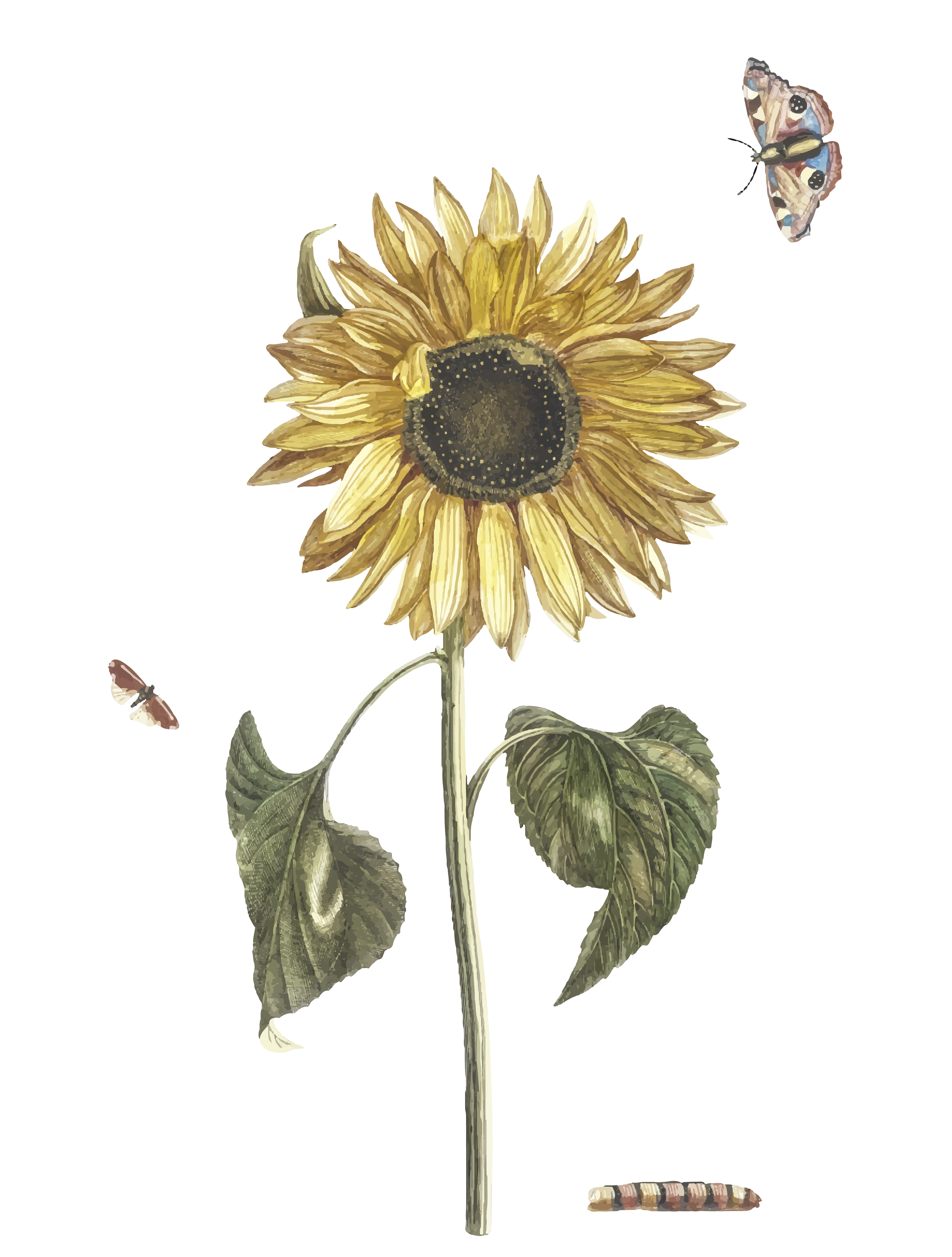 Vintage Illustration Of A Sunflower A Caterpillar And Two Butterflies Download Free