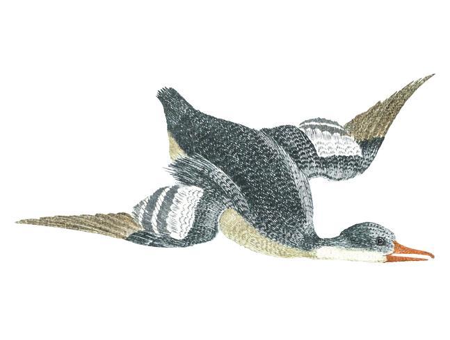Vintage illustration of a duck