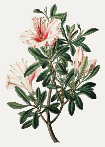 Chinese azalea