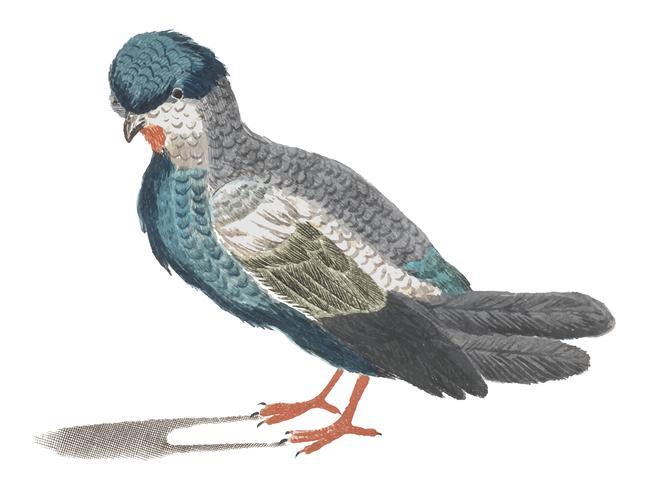 Illustration vintage d'un pigeon