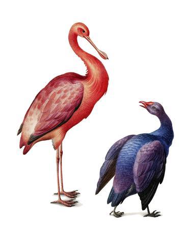 Illustrazione d'epoca di una spatola rosata e uno swamphen