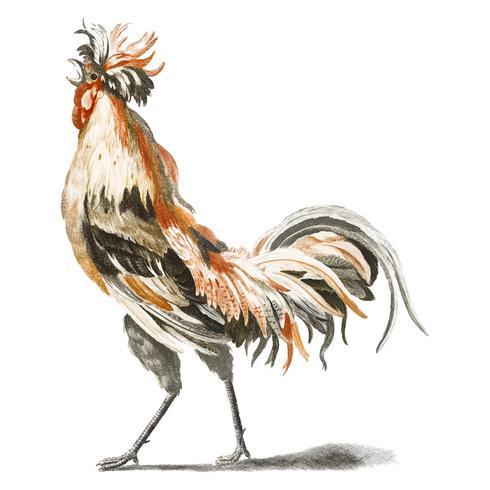 Vintage illustration of a cock