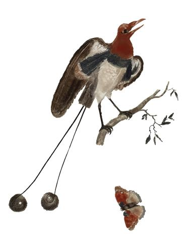 Vintage illustration of Bird of Paradise and a Butterfly