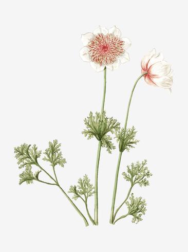 Anemones vintage illustration