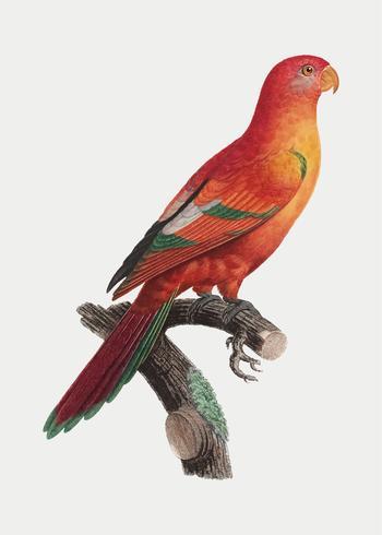 Crimson shining papegoja