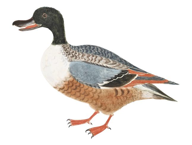 Northern shoveler by Johan Teyler (1648-1709). Original from Rijks Museum. Digitally enhanced by rawpixel.
