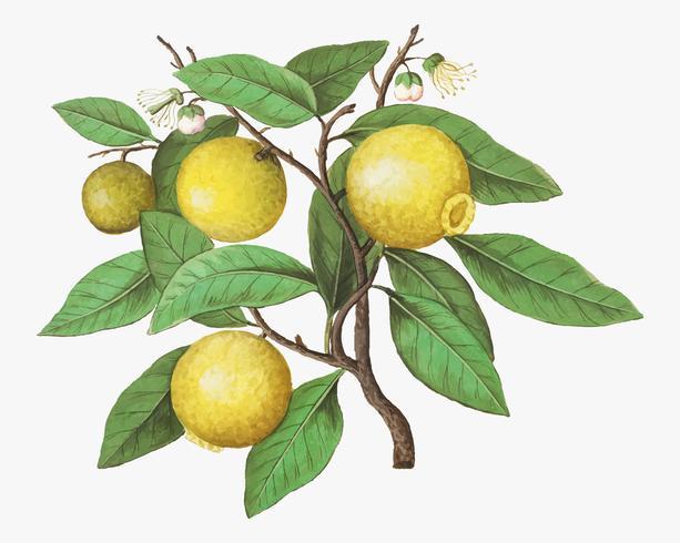 Limón en estilo vintage