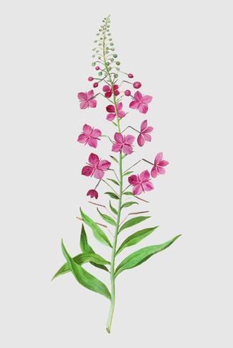 Willowherb dans le style vintage