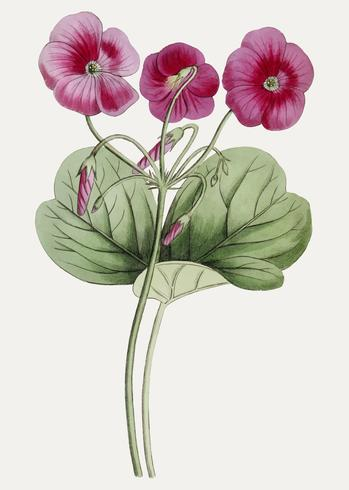 Paarse oxalis