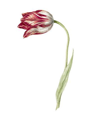 Roze tulp door Jean Bernard (1775-1883). Origineel van het Rijksmuseum. Digitaal verbeterd door rawpixel.