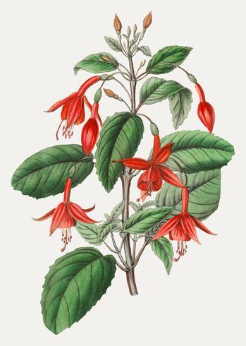 Fuchsia blomma