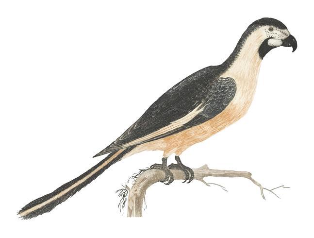 Illustrazione d'epoca di un pappagallo