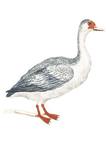 Ilustração Vintage de um ganso