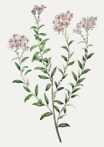 Flor de Selago