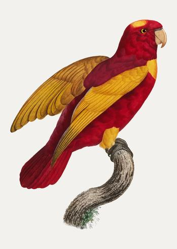 Red-and-gold lory